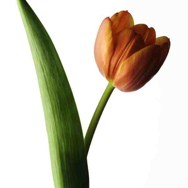 tulip 001